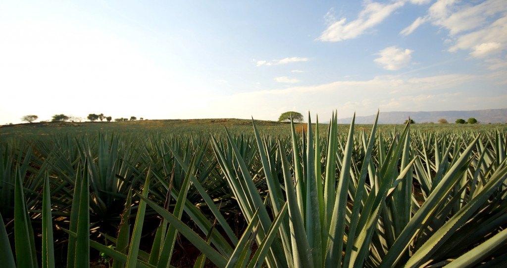 différence entre mezcal et tequila - Champs d'Agave Bleu ©Guadalajara Oficina de Visitantes y Convenciones