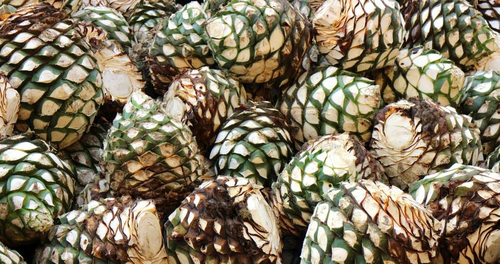 différence entre mezcal et tequila - Coeurs d'agave ©Gildardo Sánchez