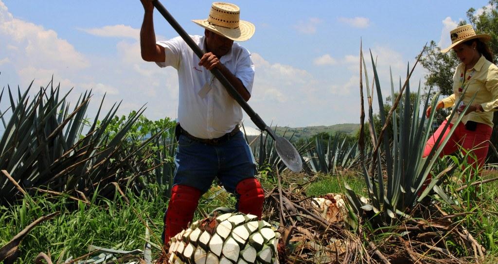 différence entre mezcal et tequila - Jimador de Tequila ©Gildardo Sánchez