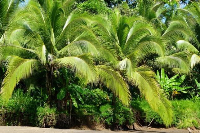 Palmiers verdoyants , Tortuguero, Costa Rica