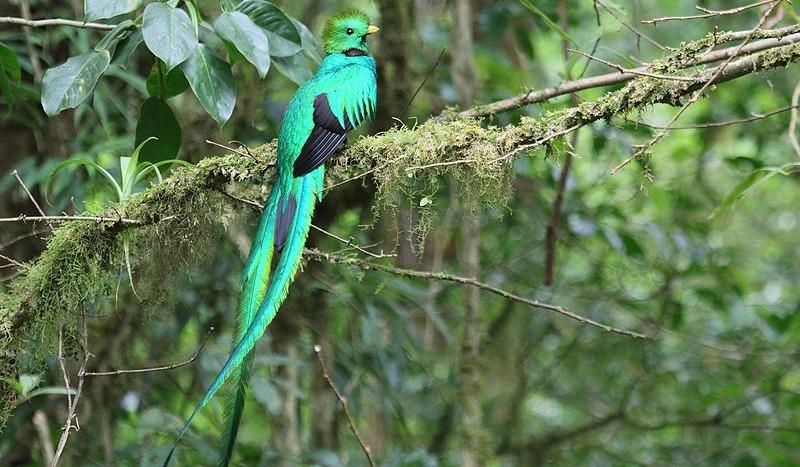 Pharomachrus_mocinno_Monteverde_03